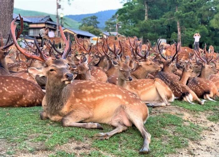 Нара: японский город оленей (10 фото)