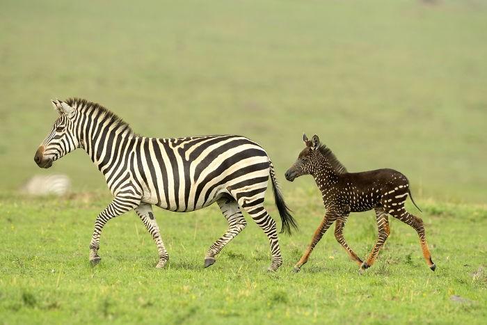 Родилась уникальная зебра с крапинками вместо полосок (6 фото)