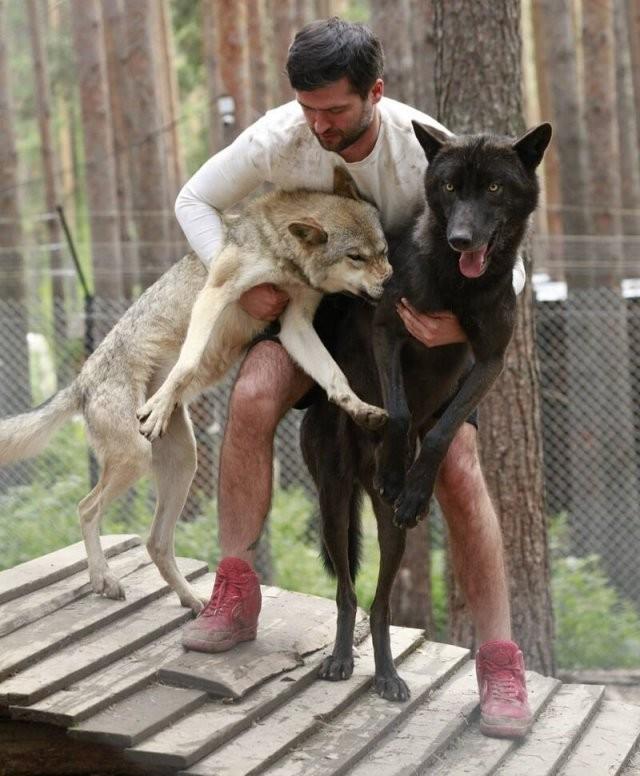 Приручивший волков, набирает популярность в «Инстаграме» (12 фото)