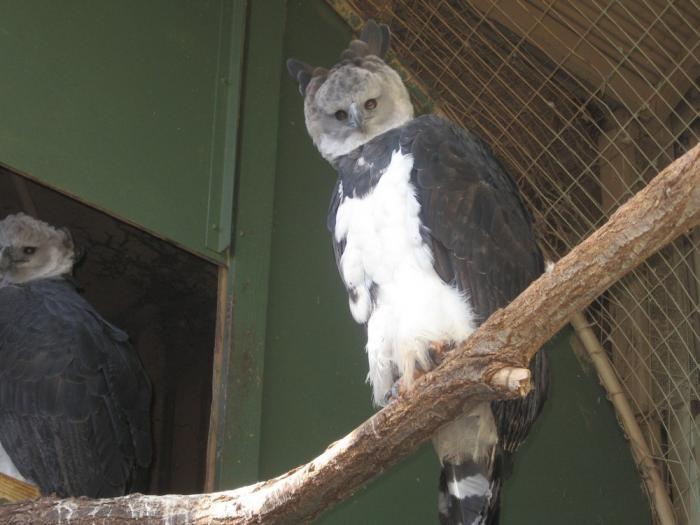 Самая удивительная птица из Южной Америки (15 фото)