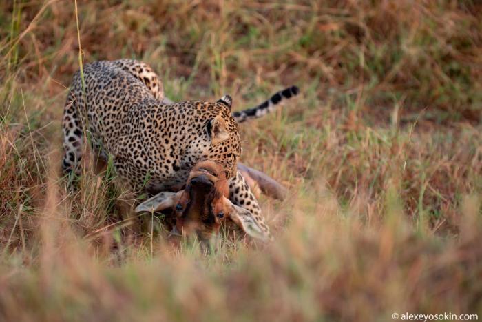 Охота леопарда (10 фото)