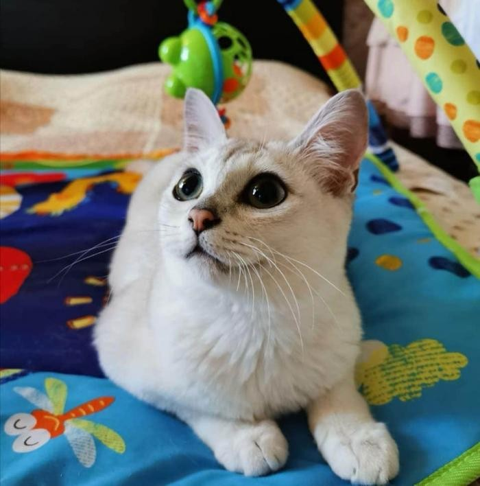 Породы домашних кошек, о которых знают не все (18 фото)