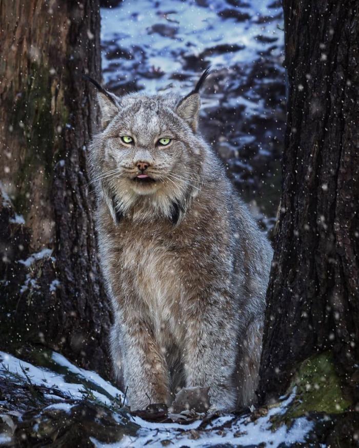 Канадская рысь - редкое животное с огромными лапами (26 фото)