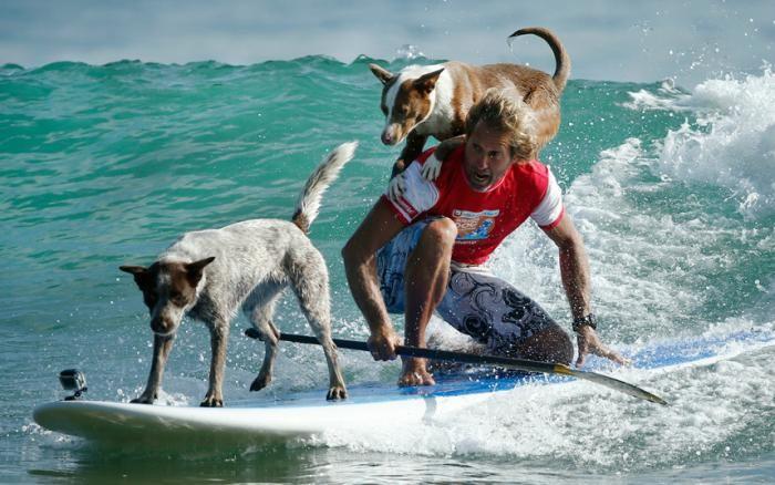 Собаки на досках для сёрфинга (2 фото)