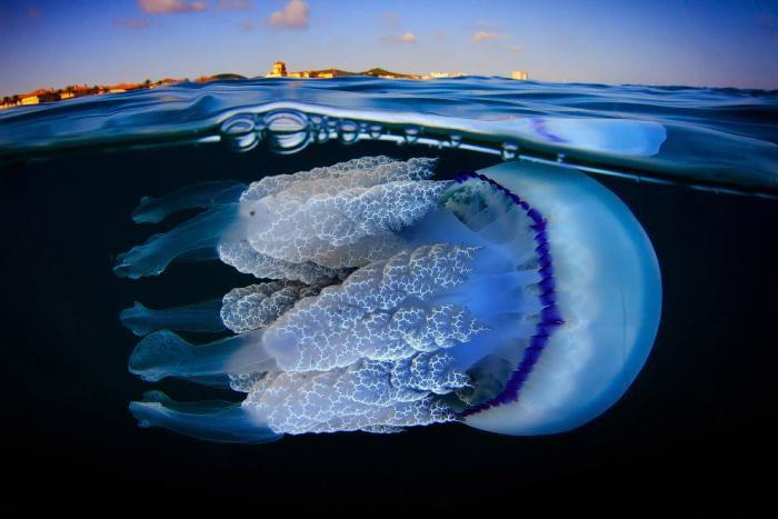 Медузы в объективе испанского фотографа (16 фото)