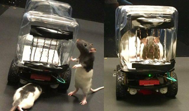 Оказалось, что крысы могут быть хорошими водителями (2 фото)