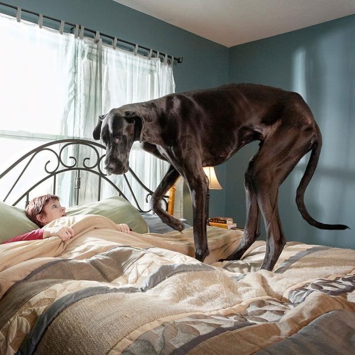 Как выглядит самая высокая собака в мире (4 фото)