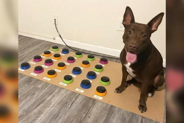 Собака, которая научилась общаться с людьми с помощью слов (3 фото)