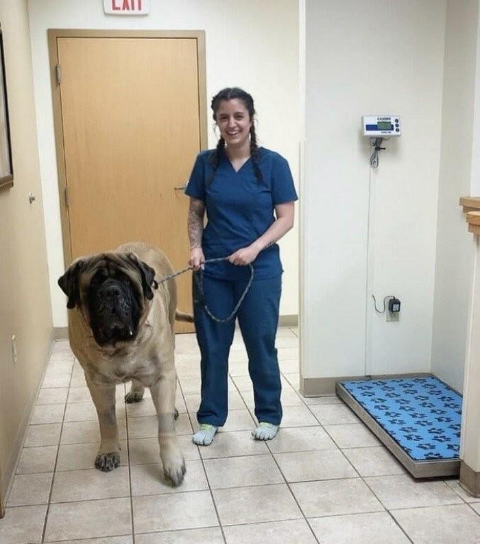 15 огромных собак, которые не подозревают о своих размерах (15 фото)