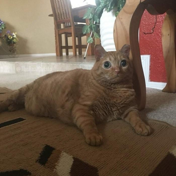 Потейто: кот, ставший звездой благодаря своим глазам (10 фото)