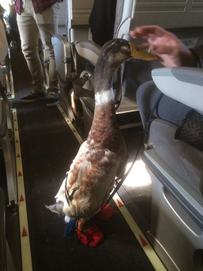 Американец боится летать, поэтому с собой он берет его (3 фото)
