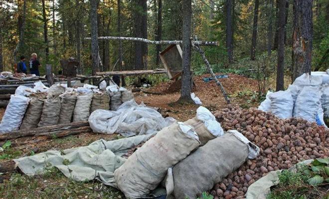 Как добывают кедровые орехи (3 фото)