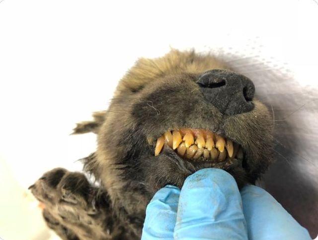 В Якутии нашли самого древнего щенка в мире (3 фото)