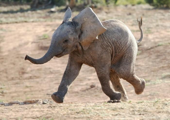 Почему слоны болеют раком реже людей?