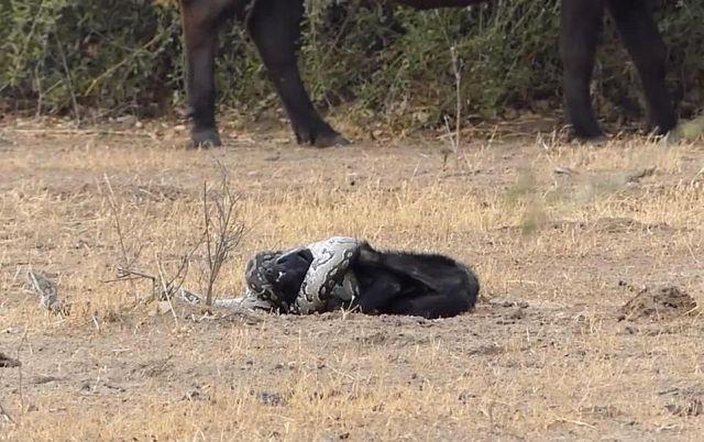 Африканский боевик: медоед вырвался из объятий питона и отомстил ему