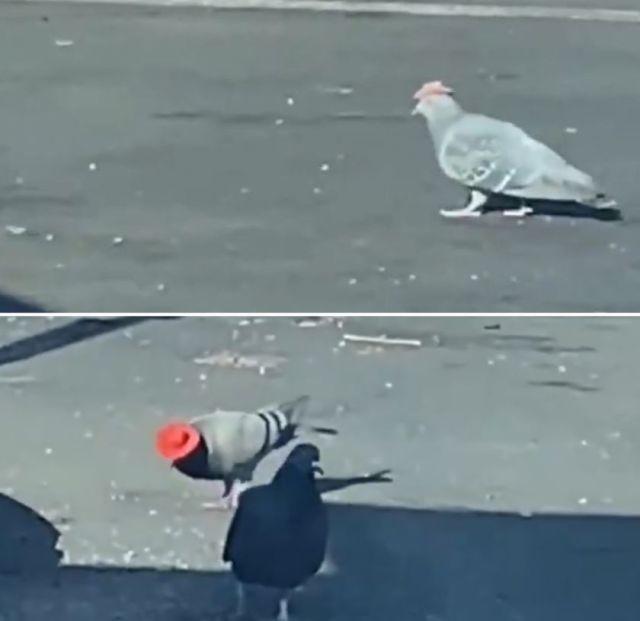 В Лас-Вегасе завелись голуби-ковбои (3 фото)