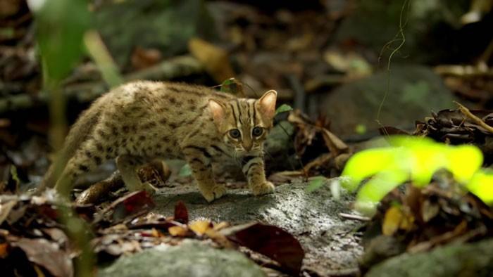 Как выглядит самая маленькая дикая кошка в мире (8 фото)