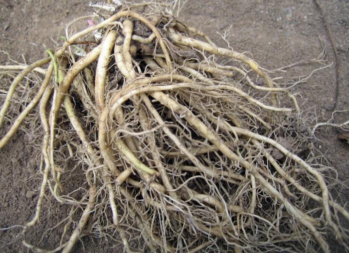 Почему чернеют и сохнут края листьев у комнатных растений (6 фото)