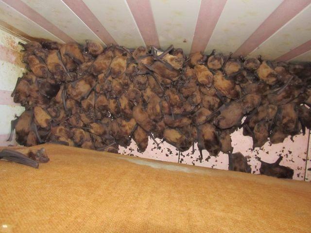 На балконе поселилось рекордное количество летучих мышей (6 фото)