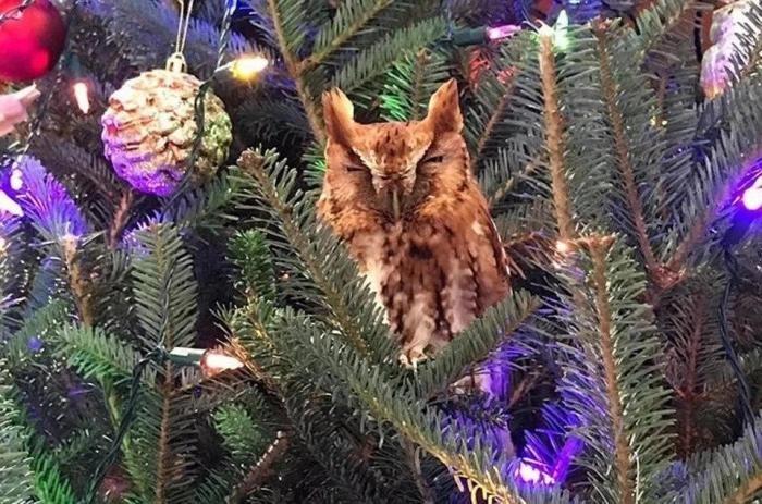 В США семья нашла живую сову, прячущуюся в купленной елке (9 фото)
