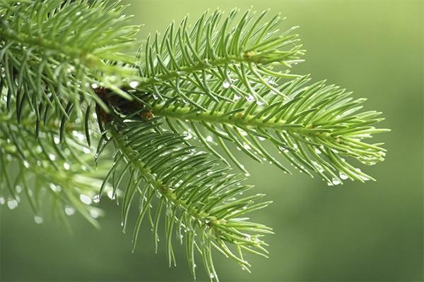 Как использовать осыпавшуюся хвою с елки после праздников (5 фото)
