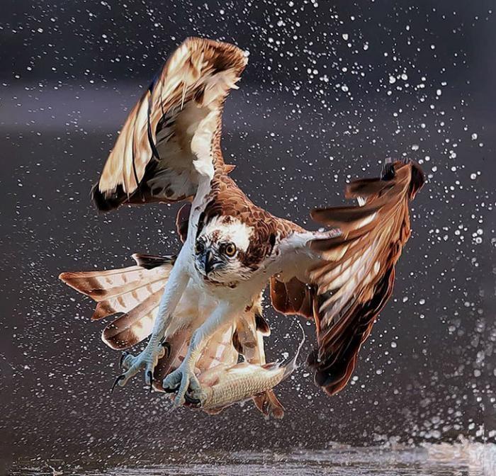 Скопа на охоте (13 фото)
