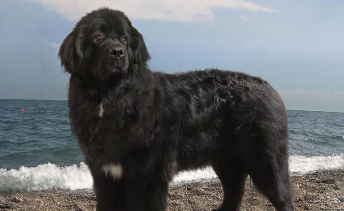 Породы собак, которые исчезли навсегда (5 фото)
