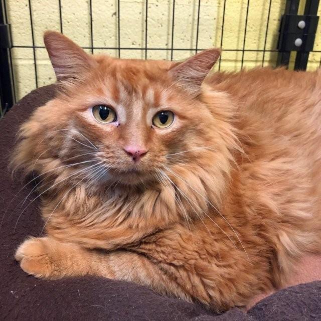 Кот по имени Базука – 18 килограммов красоты и счастья (3 фото)