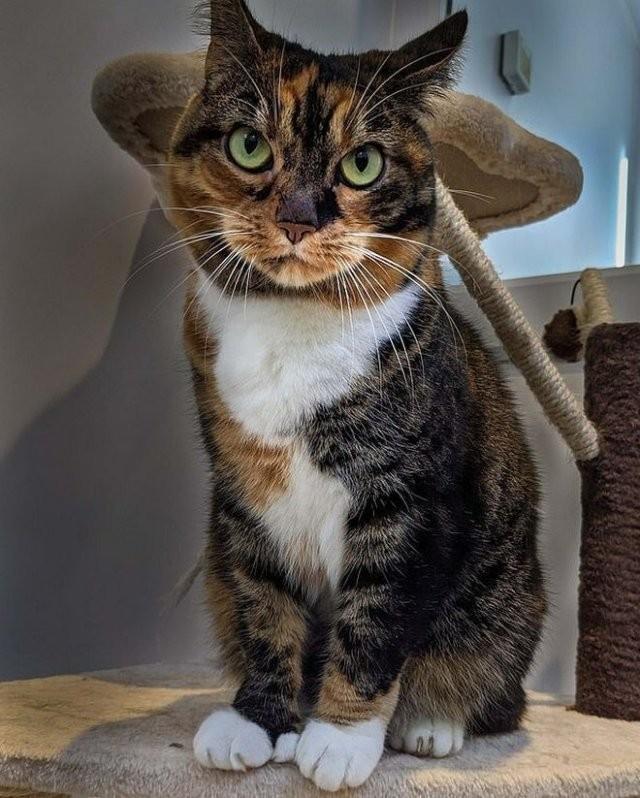 Многопалая кошка покоряет сотрудников приюта (4 фото)