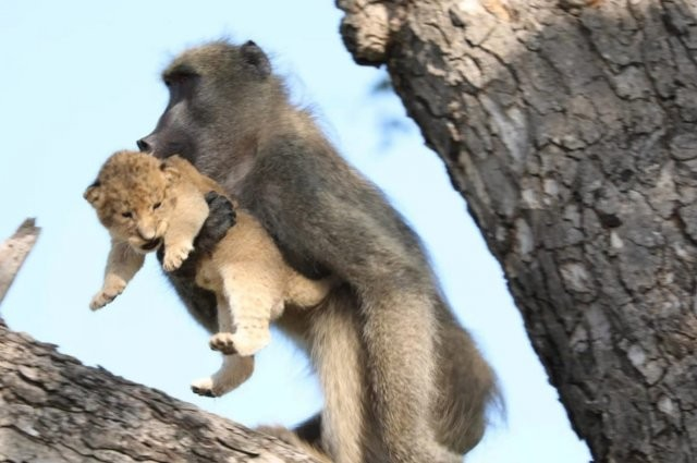 Знаменитая сцена из «Короля льва» в реальной жизни (6 фото)