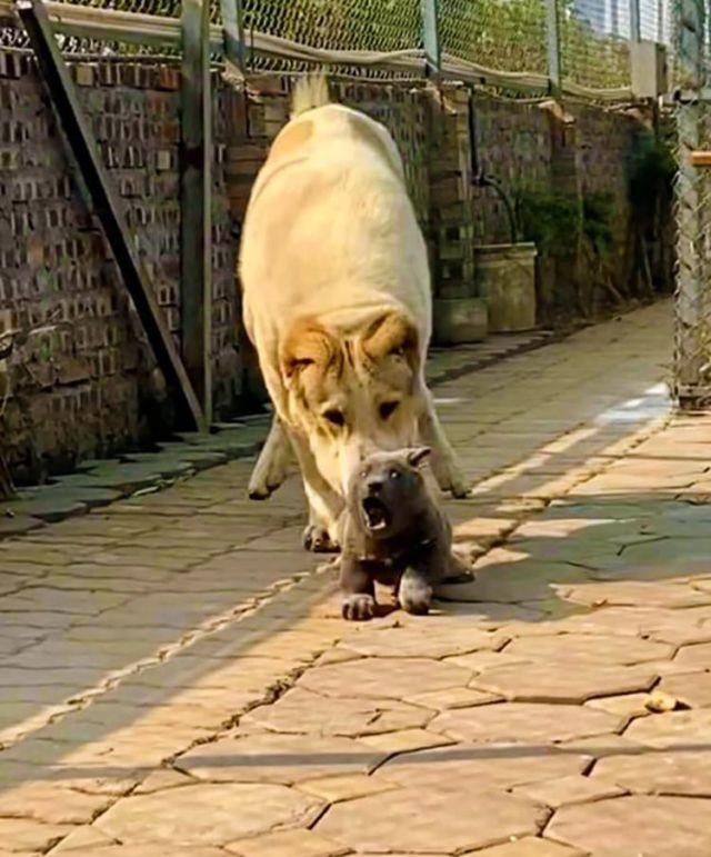 Медведокотопес-удивительное создание из Вьетнама по кличке Дуй(9 фото)