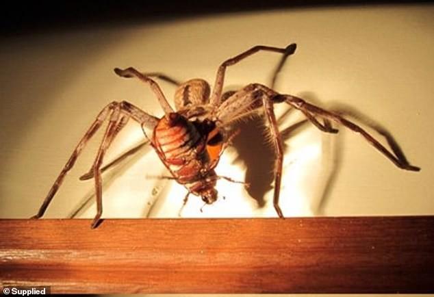 В Австралии огромный паук заблокировал вход во двор (5 фото)