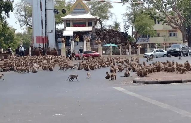 Из-за коронавируса сотни голодных обезьян устроили бунт (2 фото)