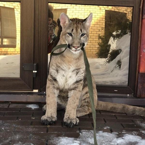 Лондон - очаровательный котенок пумы, который живет в Перми (25 фото)