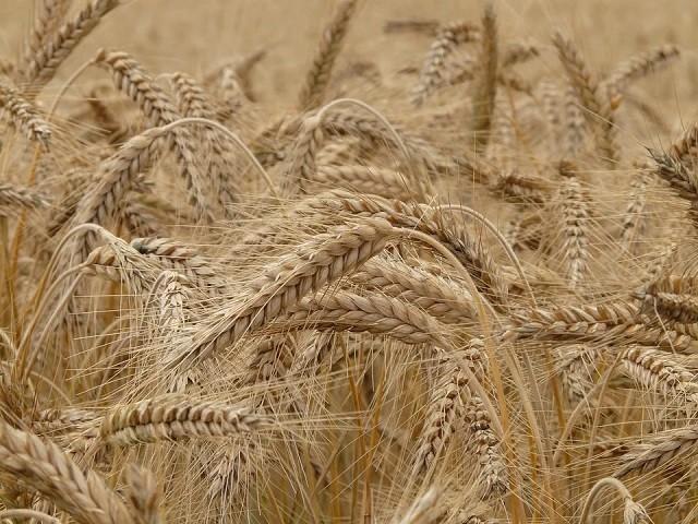 Новый рекорд: российская пшеница обошла нефть по стоимости (2 фото)