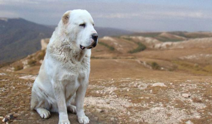Лучшие сторожевые собаки (7 фото)