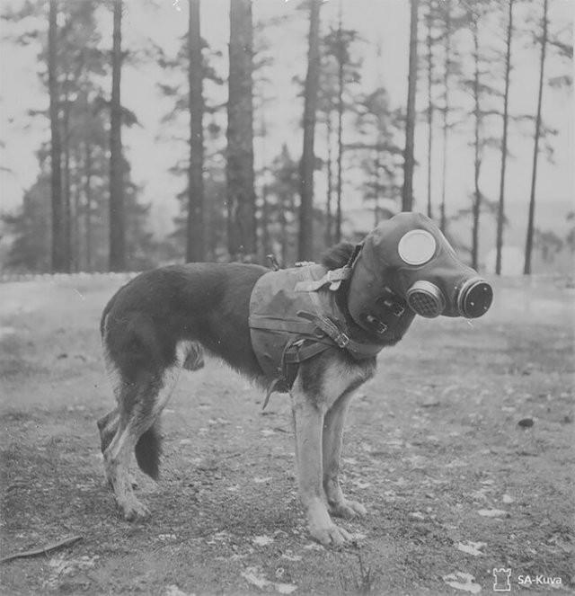 Собаки в противогазах во времена Первой Мировой войны (15 фото)