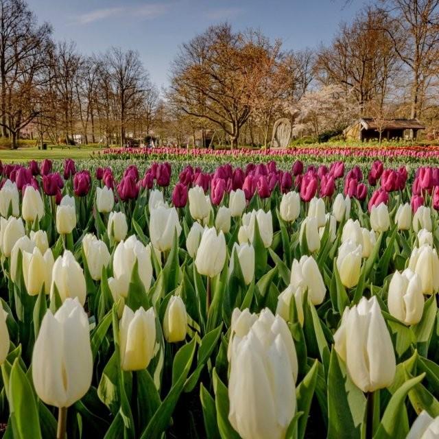 Парк цветов Кекенхоф лишился туристов (10 фото)