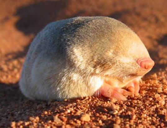 Невероятные сумчатые кроты Австралии (5 фото)
