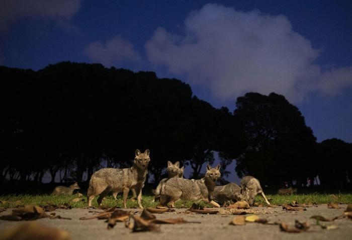 Городской парк Тель-Авива заполонили шакалы (14 фото)