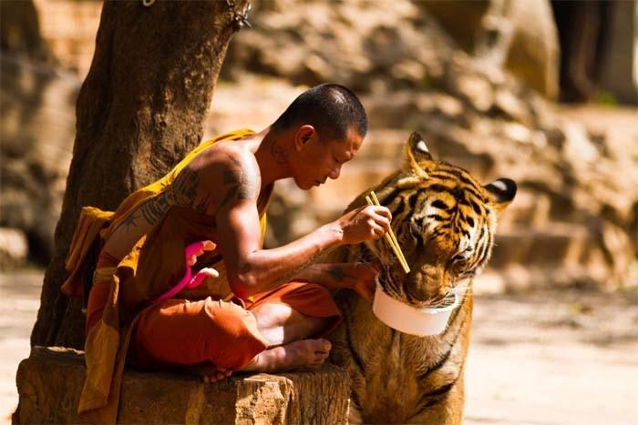 Почему в Таиланде закрыли тигриный монастырь (5 фото)
