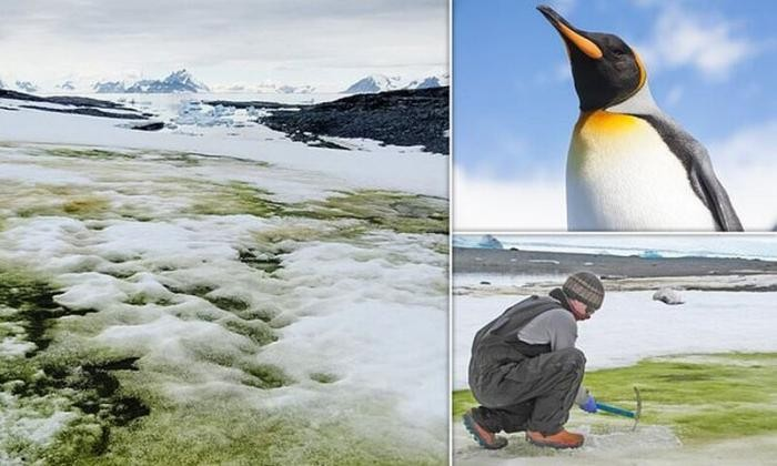 Антарктида стремительно зеленеет (5 фото)