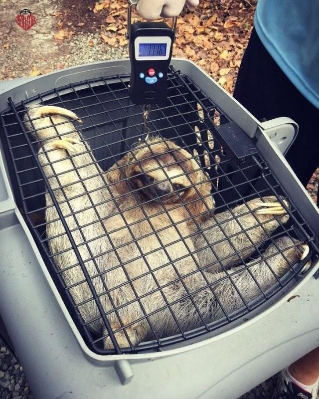 Ветеринары показали, как проходит взвешивание животных (15 фото)