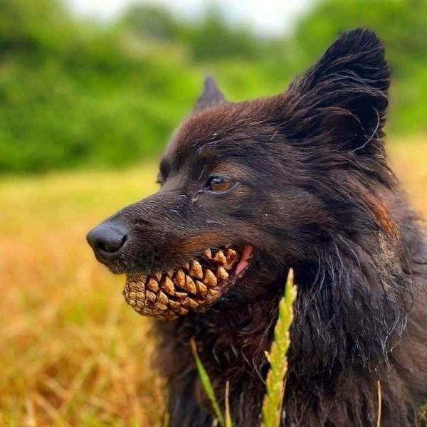 Пес схватил шишку пастью и сразу же стал героем мемов (13 фото)