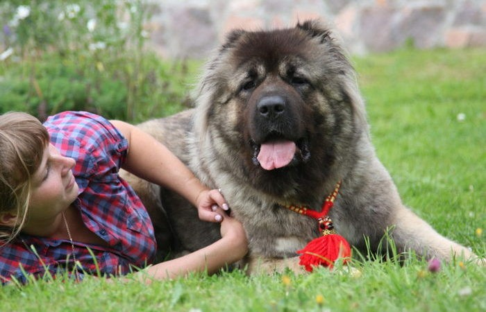 Плюсы и минусы кавказской овчарки (6 фото)