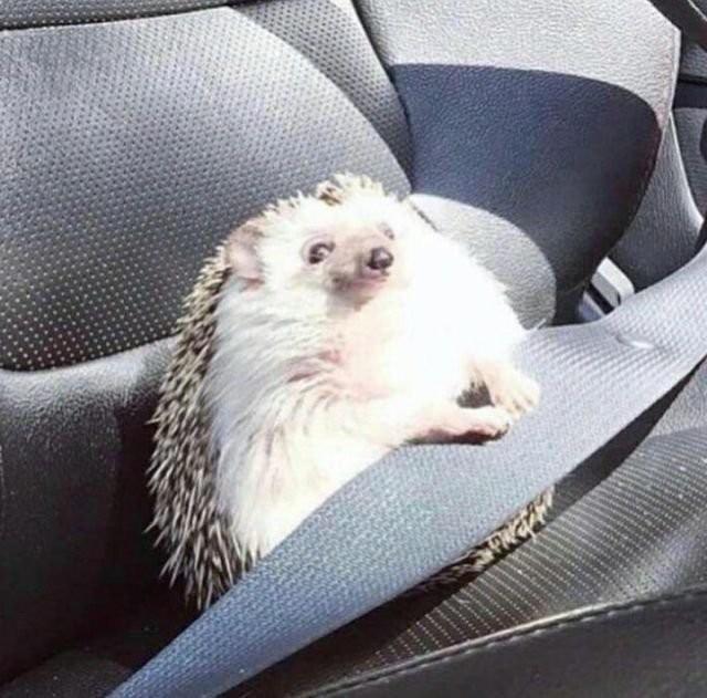 Ежик пристегнулся на пассажирском сиденье стал героем мемов (13 фото)