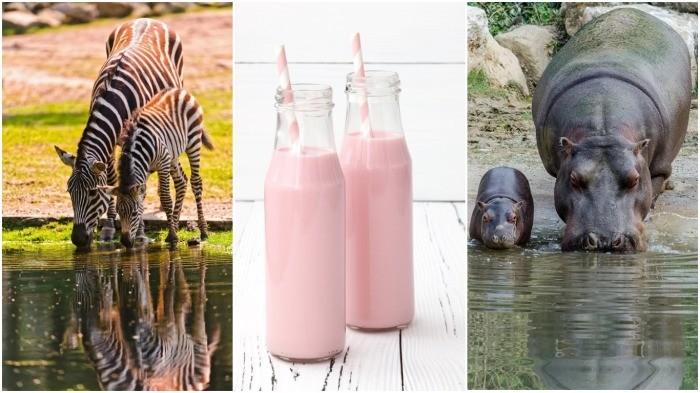 А вы знали, почему у зебр и бегемотов розовое молоко? (6 фото)