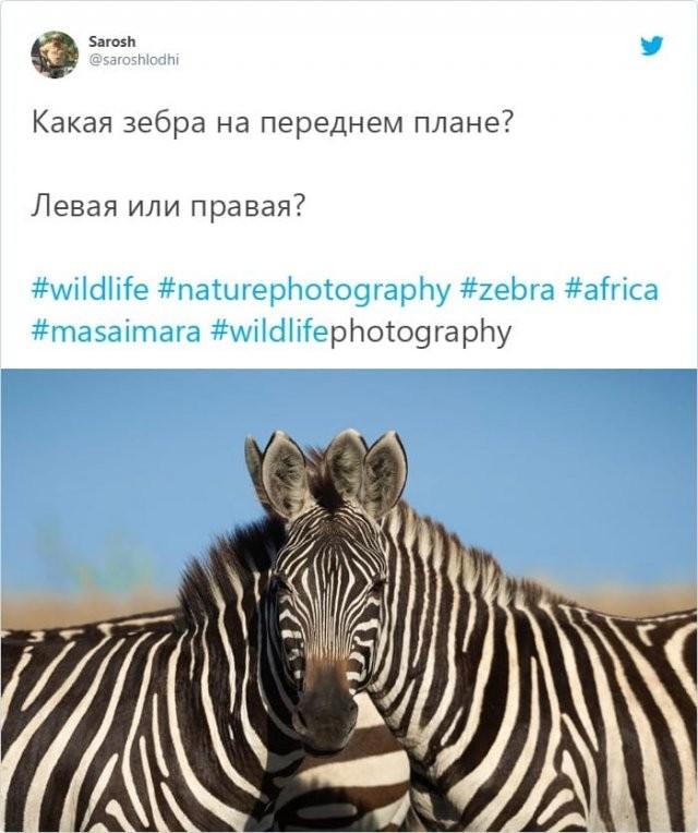 Спор века: какая зебра стоит впереди - левая или правая? (4 фото)