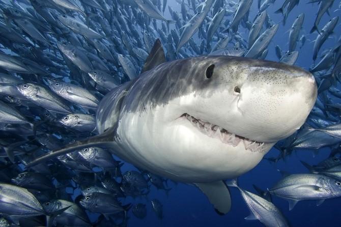 Интересные факты об акулах (2 фото)