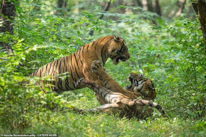 Схватка хищников в национальном парке Рантхамбор (4 фото)